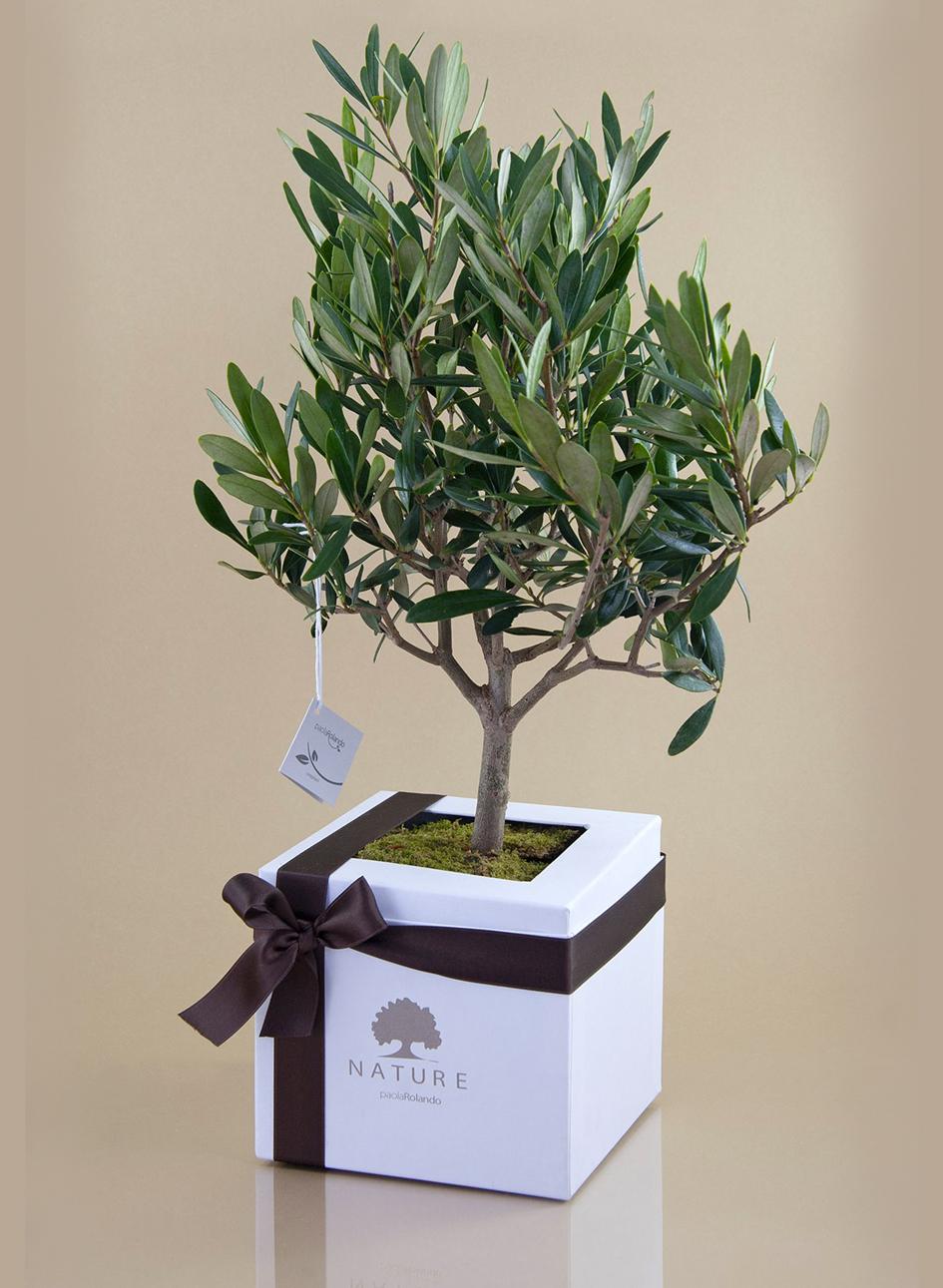 Bonsai olivo bomboniere roccaro for Bonsai pianta