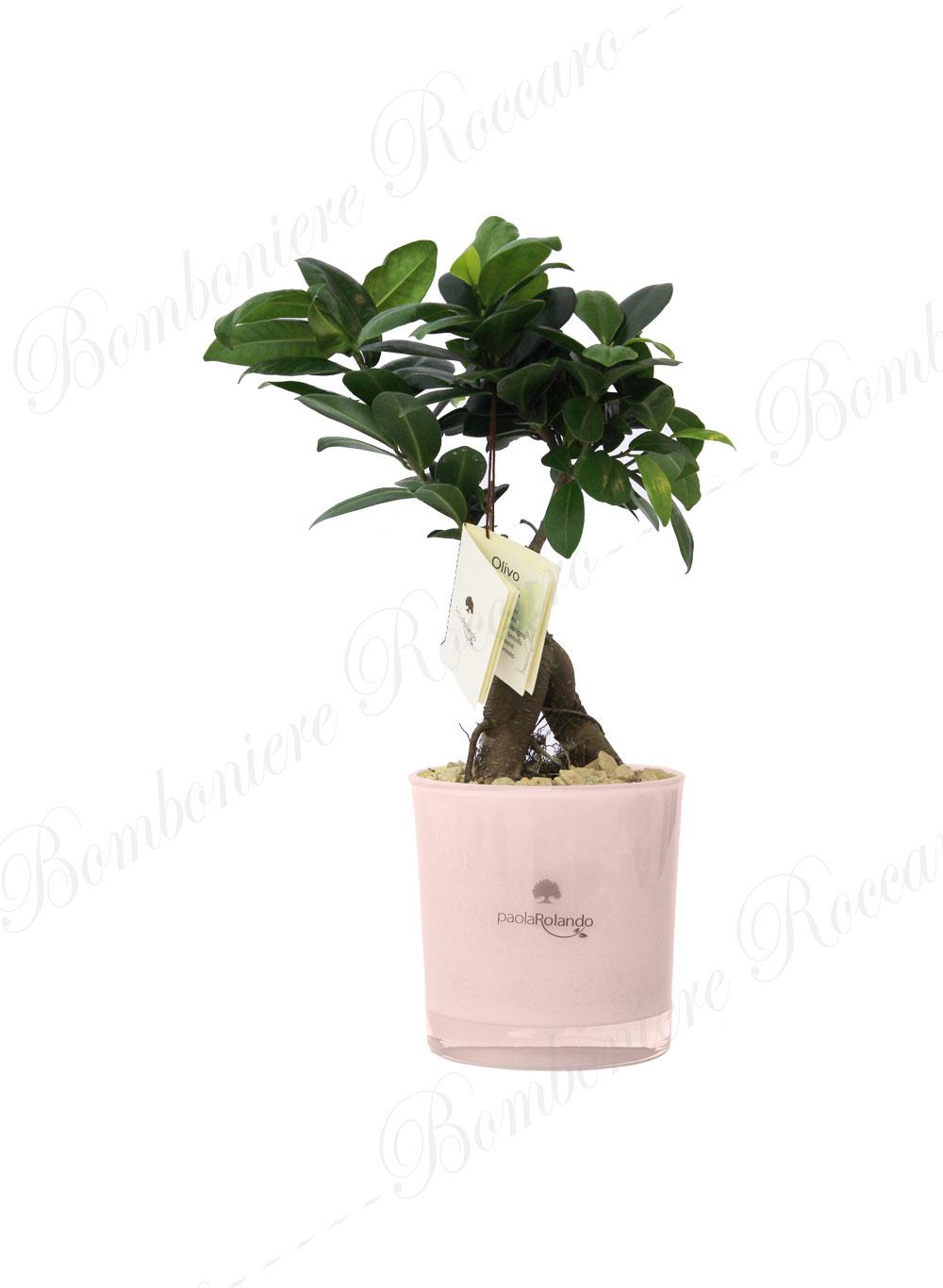 Bonsai ginseng linea sogno bomboniere roccaro for Vasi per bonsai prezzi